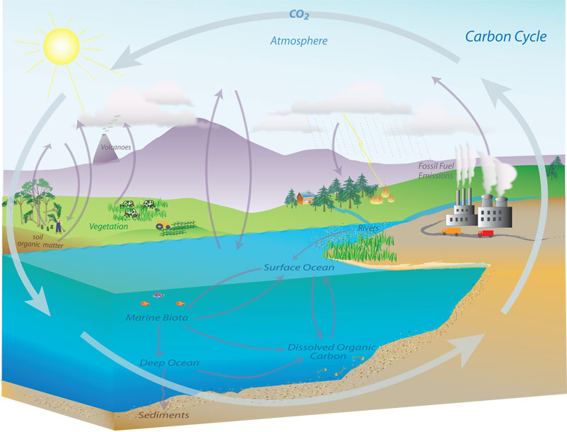 Diagram shows some of the carbon cycle s land and ocean processes